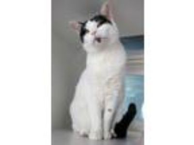 Adopt Padmae a Domestic Short Hair