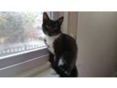 Adopt Tucker a Black & White or Tuxedo Domestic Shorthair (short coat) cat in