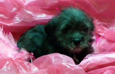 Yorkshire Terrier-Poodle (Toy) Mix PUPPY FOR SALE ADN-91437 - mini yorkipoo puppies black boys available