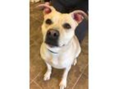Adopt Rosa 52-19 a Tan/Yellow/Fawn American Pit Bull Terrier / Mixed dog in