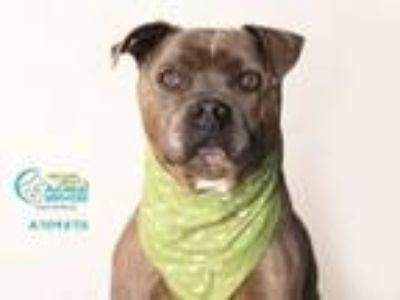 Adopt A709572 a Pit Bull Terrier