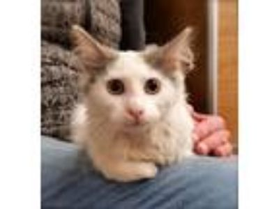 Adopt Lucy a White (Mostly) Domestic Mediumhair (medium coat) cat in Sioux