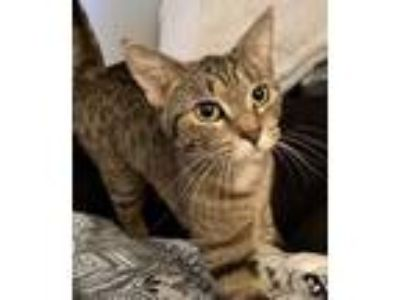 Adopt Fancy Fig a Brown or Chocolate Domestic Shorthair / Domestic Shorthair /