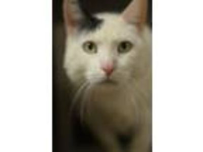Adopt TABOR a Domestic Short Hair