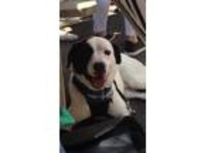 Adopt Sparks (Has Application) a White - with Black Spaniel (Unknown Type) dog