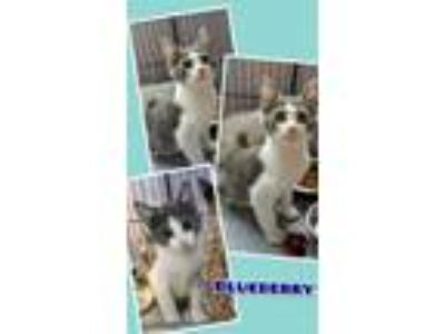 Adopt Blueberry a Gray or Blue (Mostly) Domestic Shorthair (short coat) cat in