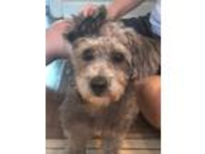 Adopt Cleo a Yorkshire Terrier, Poodle