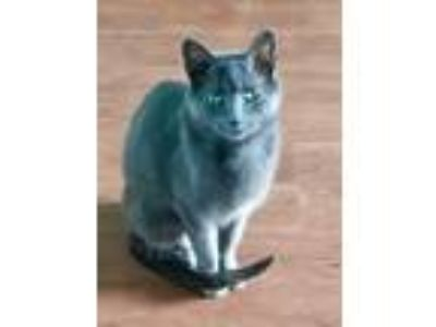 Adopt Goldilocks a Gray or Blue Russian Blue cat in Palatine, IL (25579956)