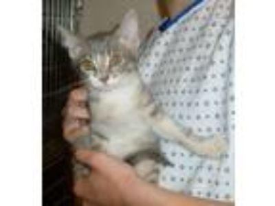 Adopt Grey'sAnatomy kittens #2: Maggie a Domestic Short Hair, Tabby
