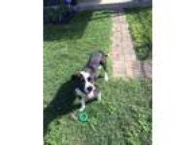 Adopt Bones a Black - with White American Staffordshire Terrier / Mixed dog in