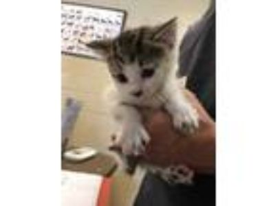 Adopt Wrenn* a White Domestic Shorthair / Domestic Shorthair / Mixed cat in