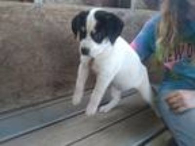 Adopt SUGAR BEAR a White - with Black Husky / Hound (Unknown Type) dog in