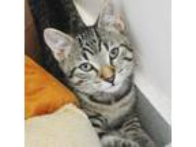 Adopt Teddy a Brown or Chocolate Domestic Shorthair / Domestic Shorthair / Mixed