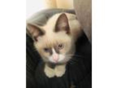 Adopt Anne a Siamese, Domestic Short Hair