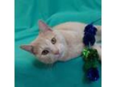 Adopt Buster a Domestic Short Hair
