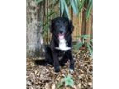 Adopt Linus a Black - with White Bearded Collie / Mixed dog in Tampa