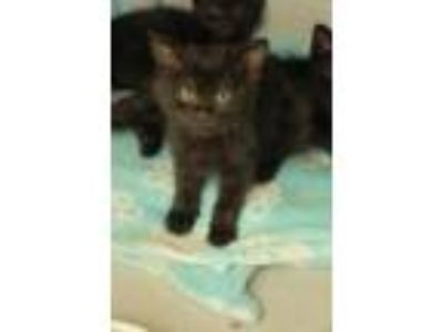 Adopt Cairo a All Black Domestic Shorthair / Mixed cat in Washougal