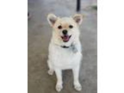 Adopt Trixie foster needed 7/20/29 a Norfolk Terrier, Appenzell Mountain Dog