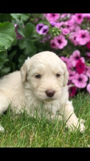 Goldendoodle PUPPY FOR SALE ADN-79330 - 2nd generation Goldendoodles  WILL SHED LESS