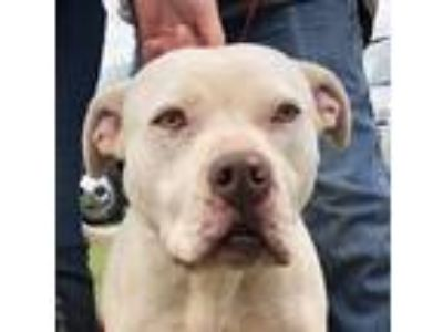 Adopt Tuli a White American Pit Bull Terrier / Mixed dog in Blanchard