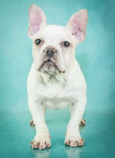Candy Female Frenchton Puppy
