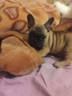 French Bulldog PUPPY FOR SALE ADN-92193 - Lilly
