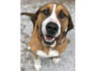 Adopt Handsome Jake a Tricolor (Tan/Brown & Black & White) St.