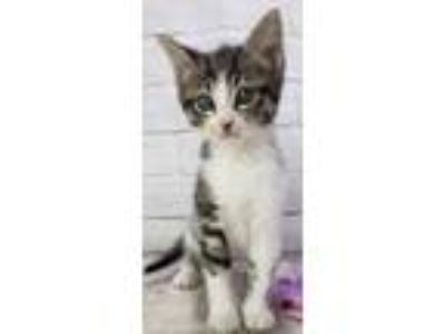 Adopt Chance a White Domestic Shorthair / Domestic Shorthair / Mixed cat in