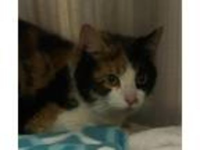 Adopt Destar a Domestic Short Hair