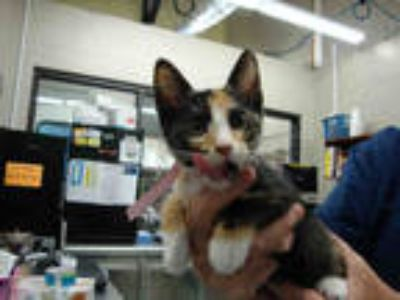 Adopt TURTLE a Calico or Dilute Calico Domestic Shorthair / Mixed (short coat)