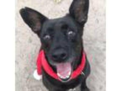 Adopt Hermes a Labrador Retriever