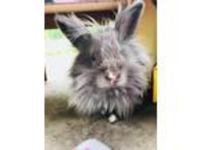 Adopt Ordella a Blue Lionhead / Mixed (long coat) rabbit in Winfield