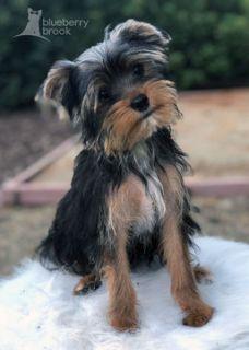 Yorkshire Terrier PUPPY FOR SALE ADN-92048 - Yorkie Puppies AKC