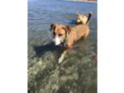 Adopt Bron a Tan/Yellow/Fawn Hound (Unknown Type) / Mixed dog in Rancho Santa