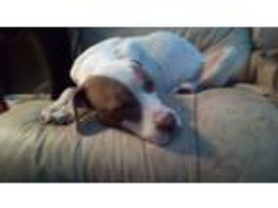 Adopt Petey a White - with Brown or Chocolate American Pit Bull Terrier /