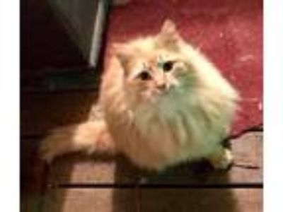 Adopt Winnie a Orange or Red Domestic Longhair / Mixed (long coat) cat in