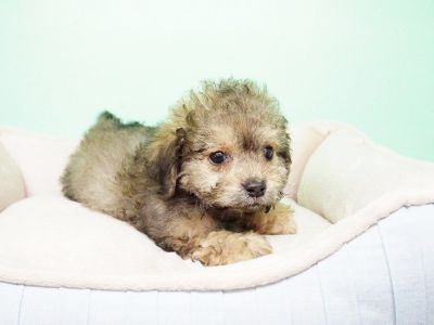 Shipoo Puppy – Male- Lipton ($1,299)