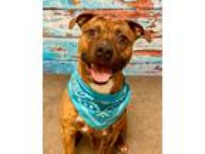 Adopt DENVER a Brindle - with White Terrier (Unknown Type