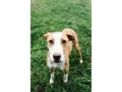 Adopt Selena a Brown/Chocolate - with White Cattle Dog dog in Papillion