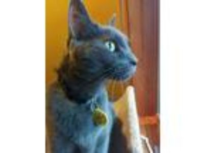Adopt Charlie Brown a Domestic Short Hair, Russian Blue