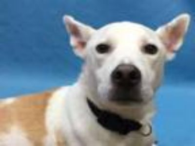 Adopt Michah a Cattle Dog, Mixed Breed