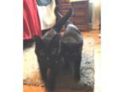 Adopt Bridget & Artie a All Black Domestic Shorthair (short coat) cat in