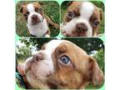 Blue eyed Chocolate and Red Brindle colored Boston Terrier puppies