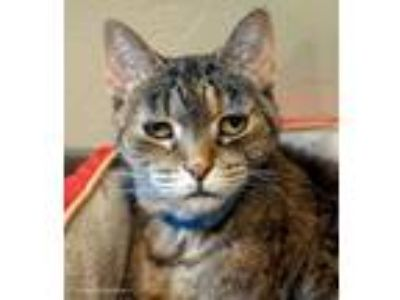 Adopt Dottie a Brown Tabby Domestic Shorthair / Mixed (short coat) cat in