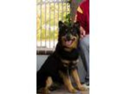 Adopt Titan a Black - with Tan, Yellow or Fawn German Shepherd Dog / Husky /