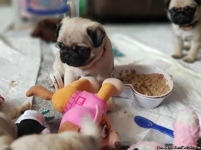 Full AKC registered pug puppy available