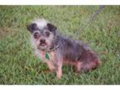 Adopt Sam a Gray/Silver/Salt & Pepper - with White Chinese Crested / Pug / Mixed