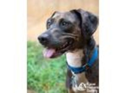 Adopt Dolly a Black Hound (Unknown Type) / Mixed dog in Lihue, HI (25550984)