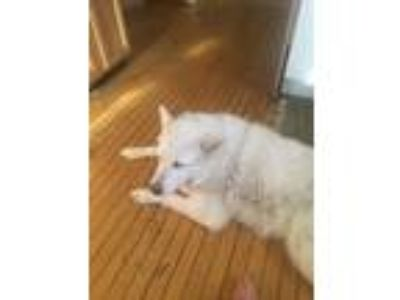 Adopt Ali a White - with Gray or Silver Alaskan Malamute / Great Pyrenees dog in