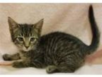 Adopt Tyrion a Domestic Shorthair / Mixed cat in Atlantic City, NJ (25408079)